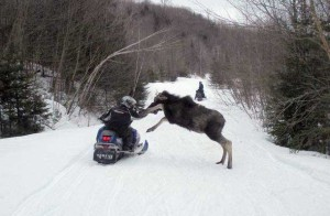 moose charge