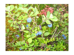 Alaskan Blueberries...be careful to watch for the Bears!!