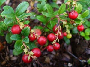 Low-bush cranberries are actually Lingonberries. They are somewhat mealy when first picked but taste like cranberries when cooked and after freezing.