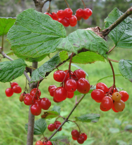 Highbush Cranberry is not a true cranberry but has red juicy berries that are tart.