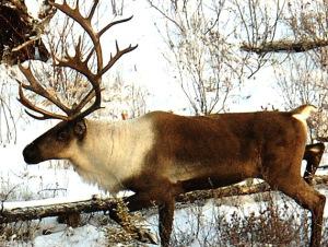 Alaska has 32 separate herds of Caribou.